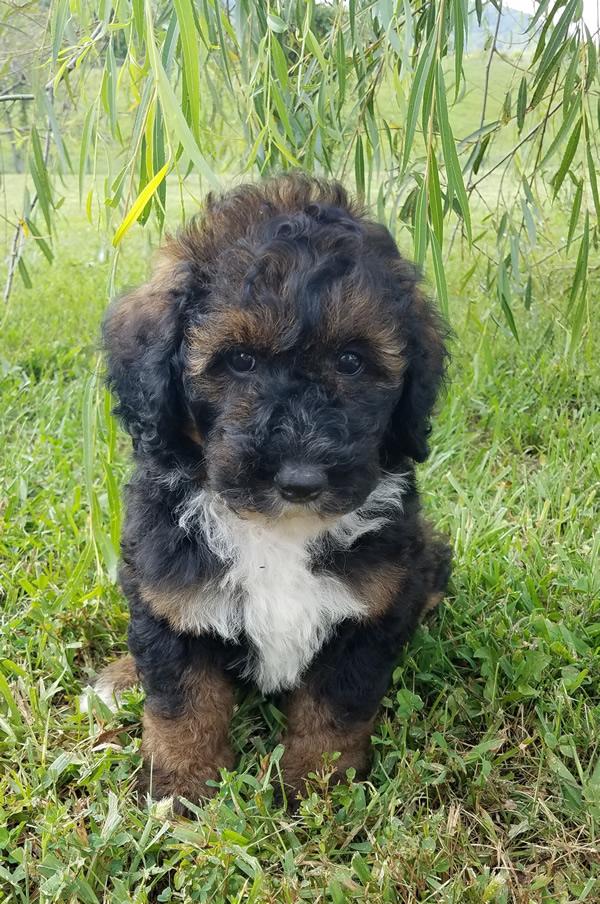 Sally Sable Bernedoodle Puppy Kentucky Mountain Doodles