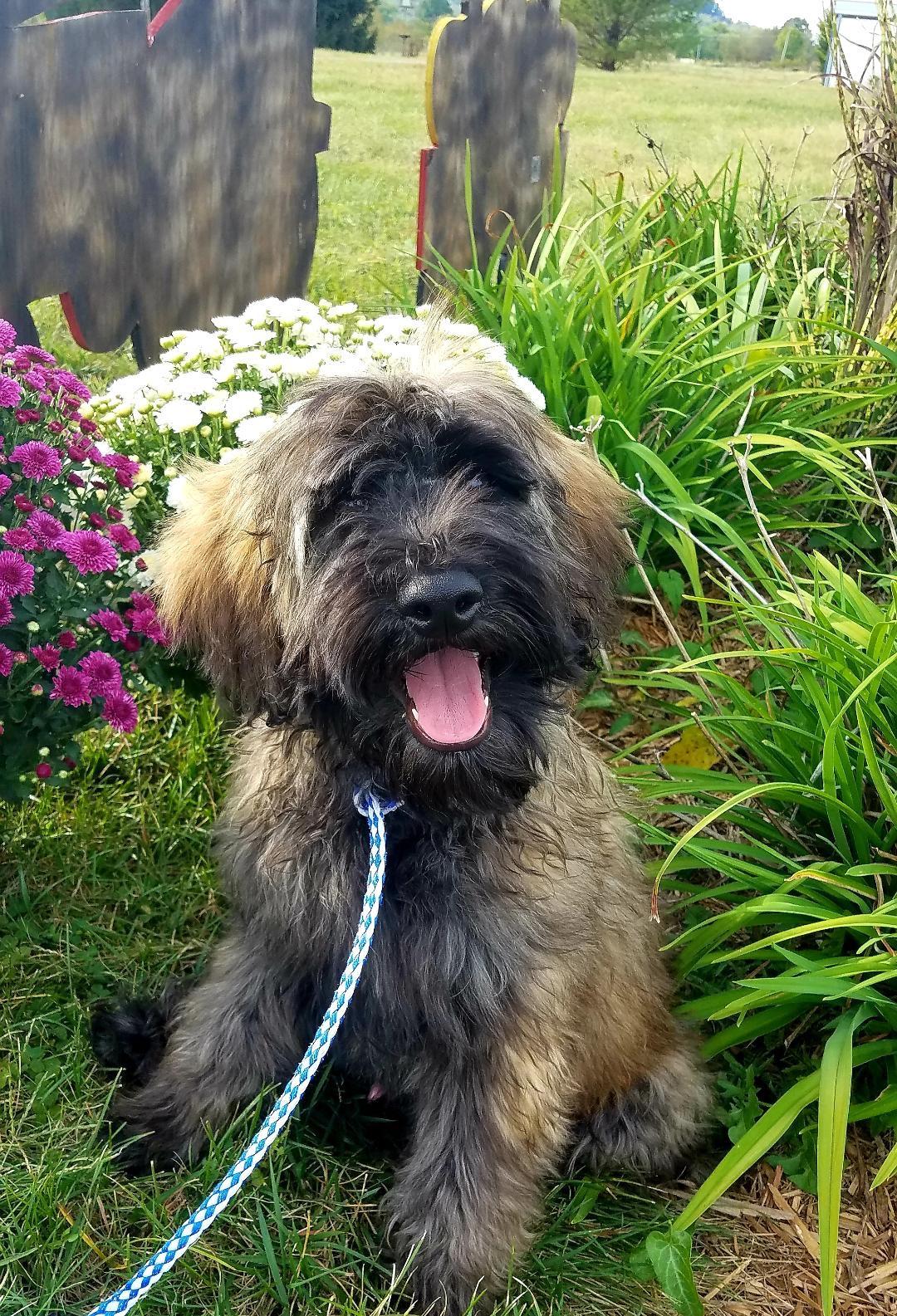 Cooper Sable Goldendoodle Puppy Kentucky Mountain Doodles